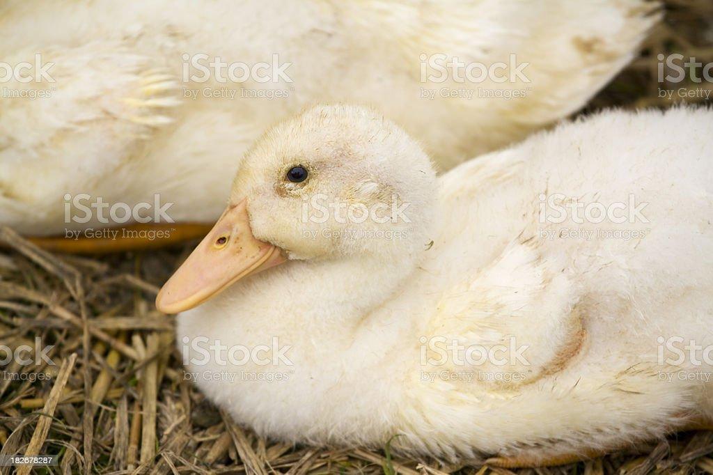 Baby Aylesbury Duckling stock photo