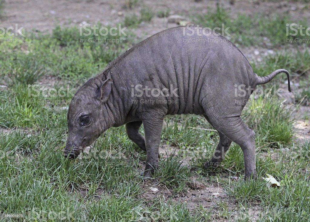 Baby Babirusa stock photo