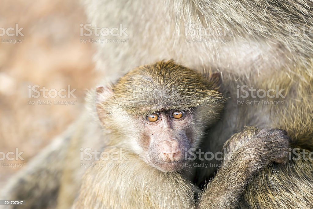 Baby Baboon with mother royalty-free stock photo