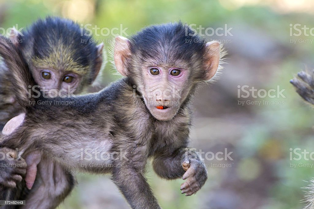 Baby Baboons royalty-free stock photo