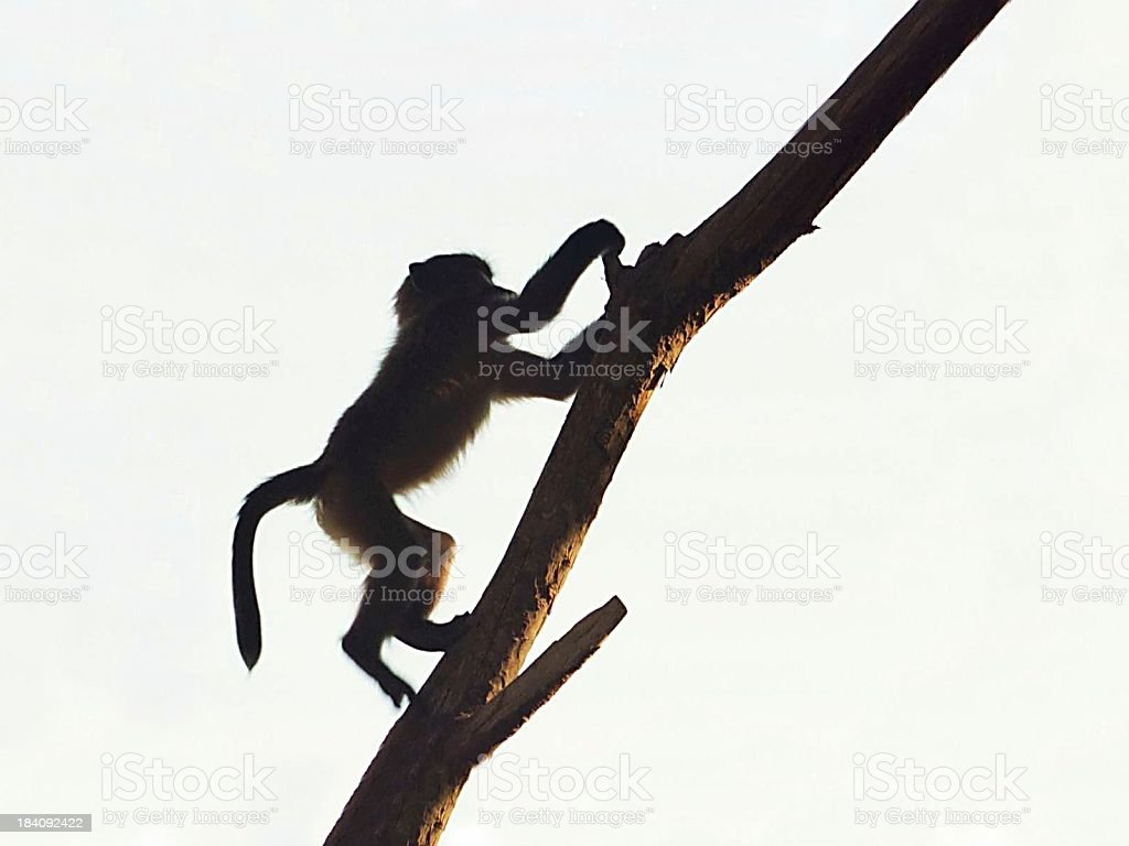 Baby baboons playing royalty-free stock photo