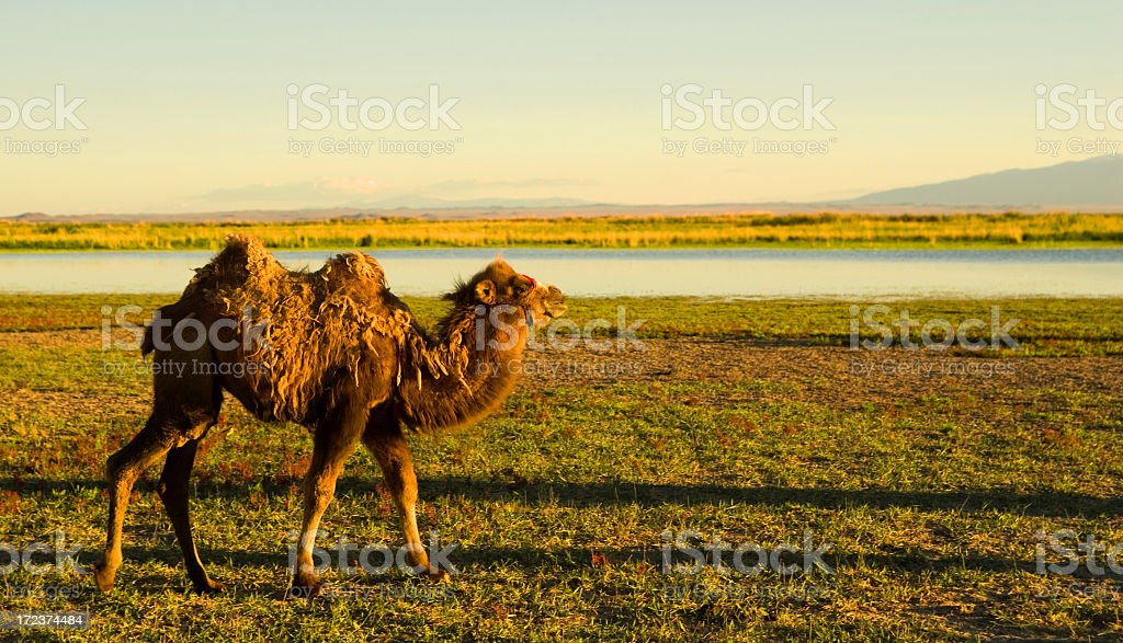 Baby Bactrian Camel royalty-free stock photo