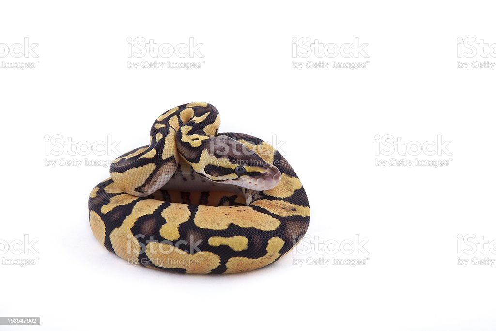 Baby Ball or Royal Python, Firefly morph, on white background royalty-free stock photo