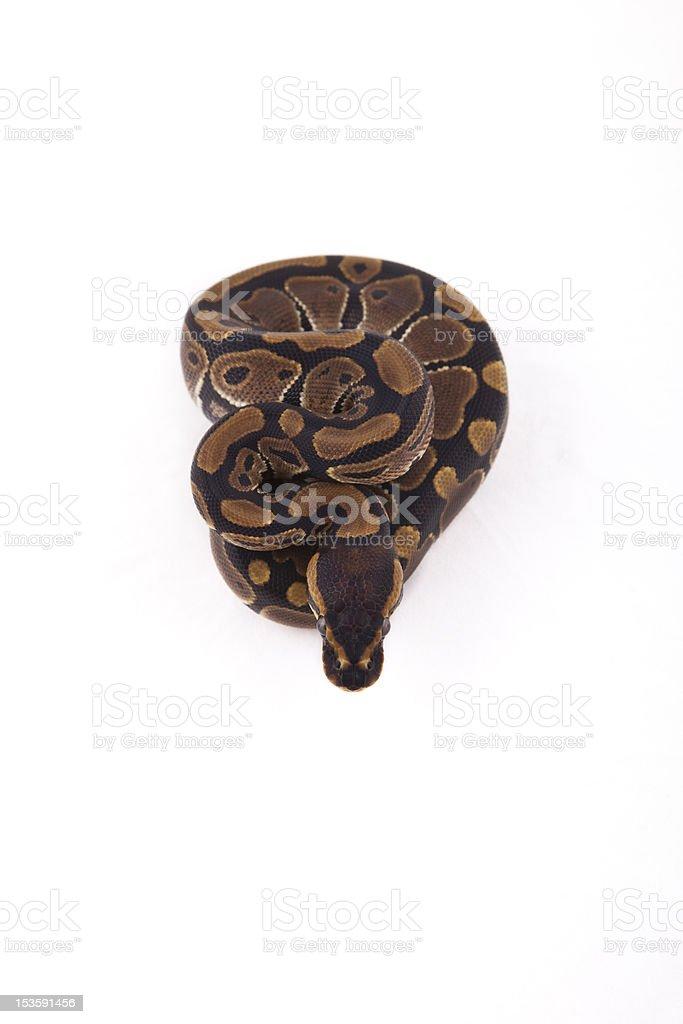 Baby Ball or Royal Python on white background stock photo
