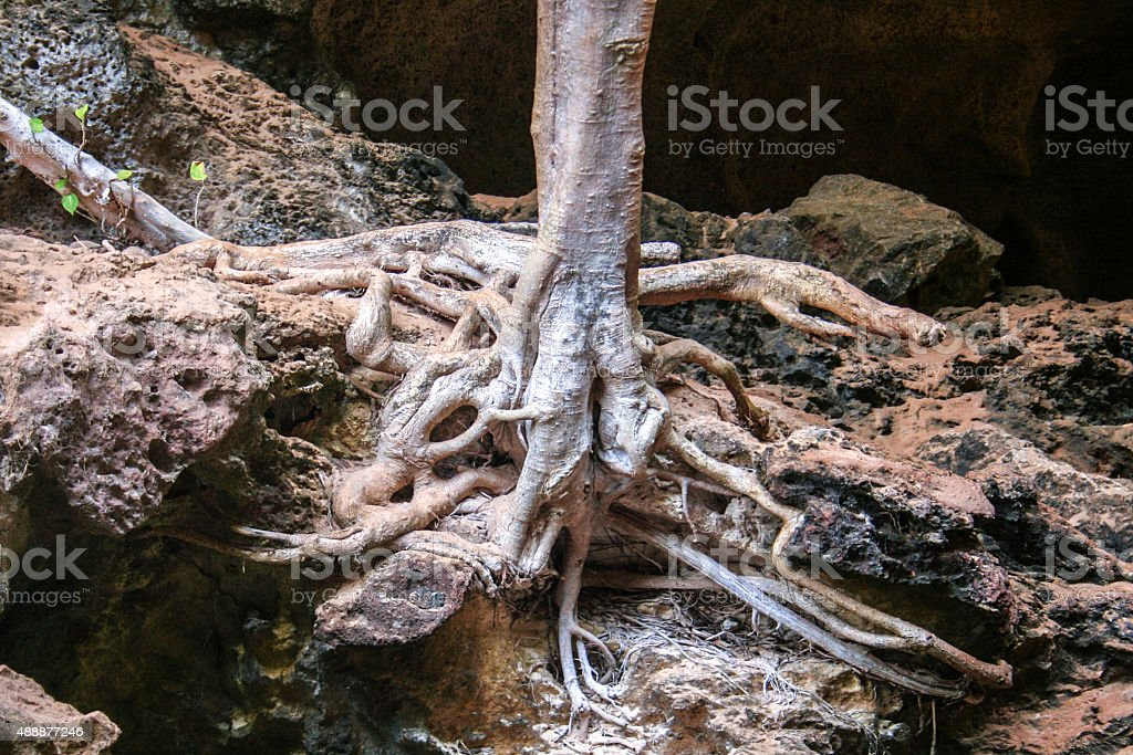 Baby Banyan Tree Growing On Sea Rock - Tree Roots stock photo