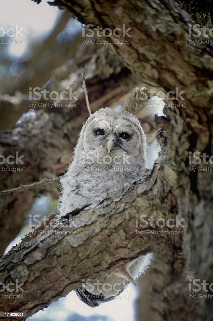 Baby Barred Owl royalty-free stock photo