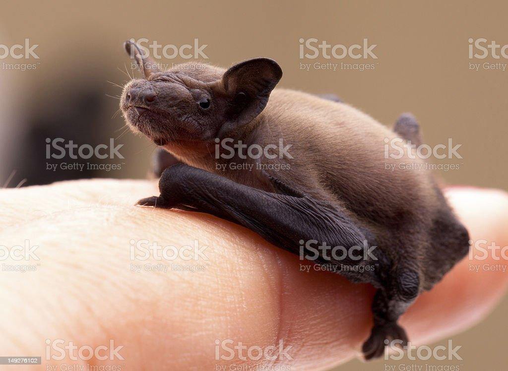 Baby Bat (Pipistrellus pipistrellus) stock photo