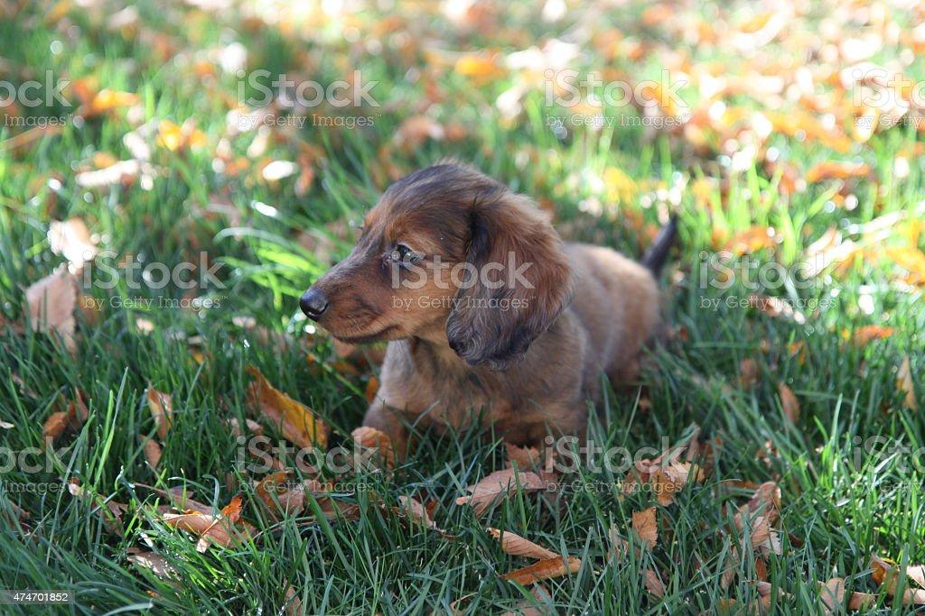Baby Bear - Dachshund Puppy - Red Dapple stock photo