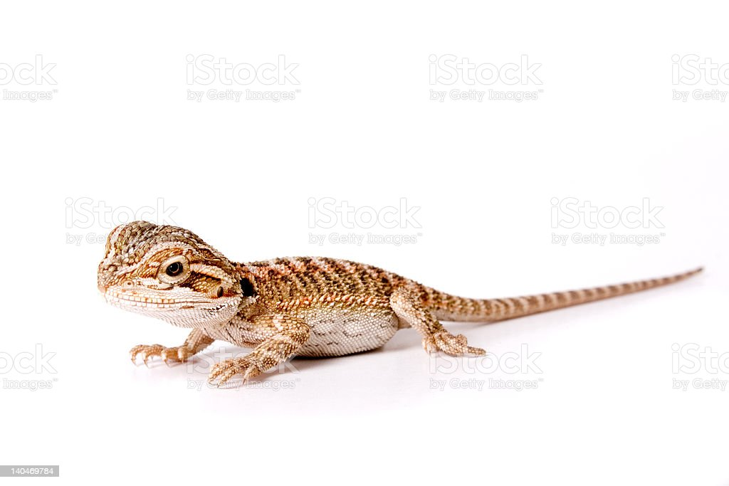 Baby Bearded Dragon royalty-free stock photo