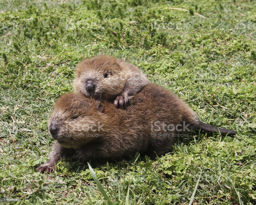 Baby Beaver Buddies stock photo