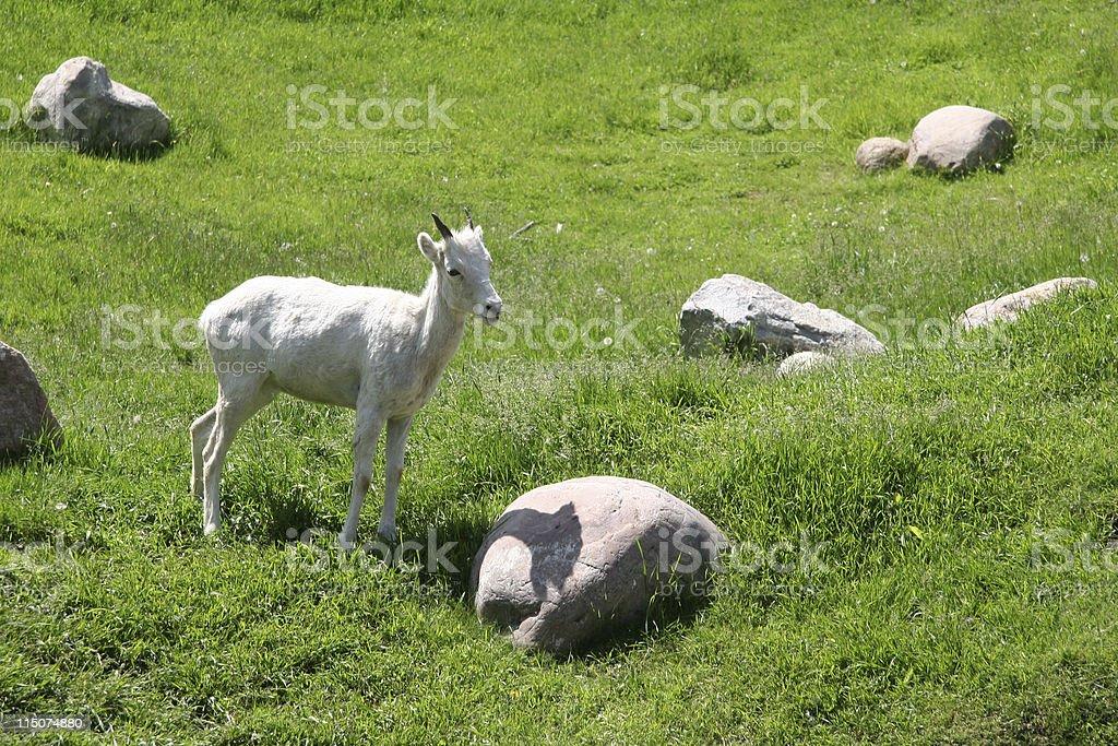 Baby big horn sheep royalty-free stock photo