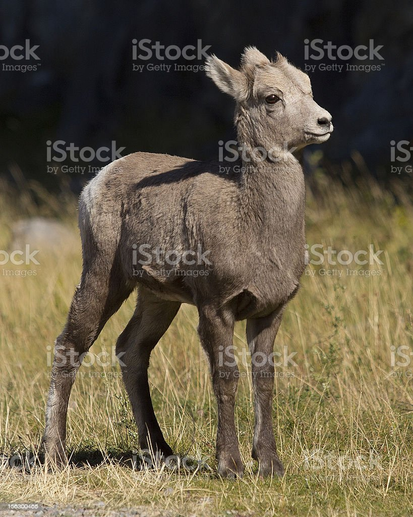 Baby Bighorn royalty-free stock photo