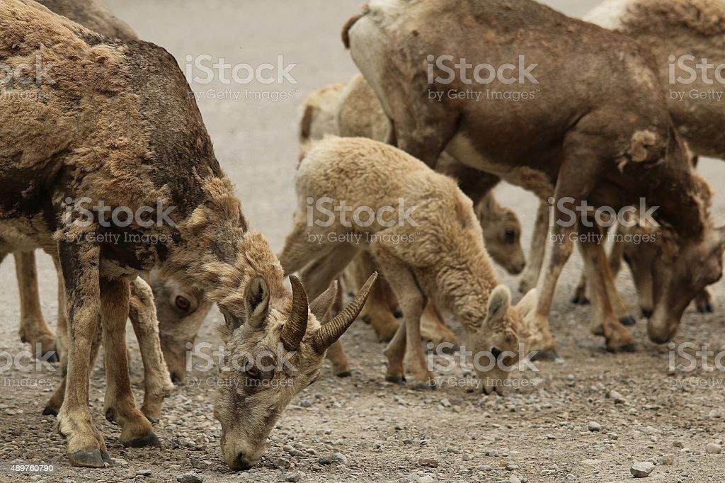 Baby Bighorn Sheep feeding stock photo