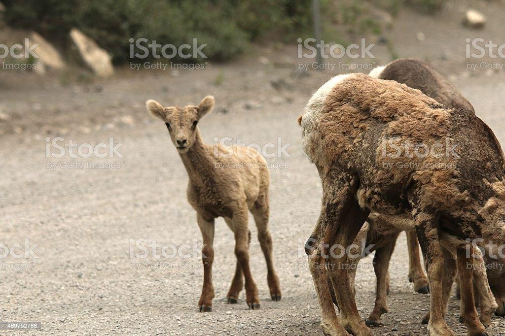 Baby Bighorn Sheep stock photo