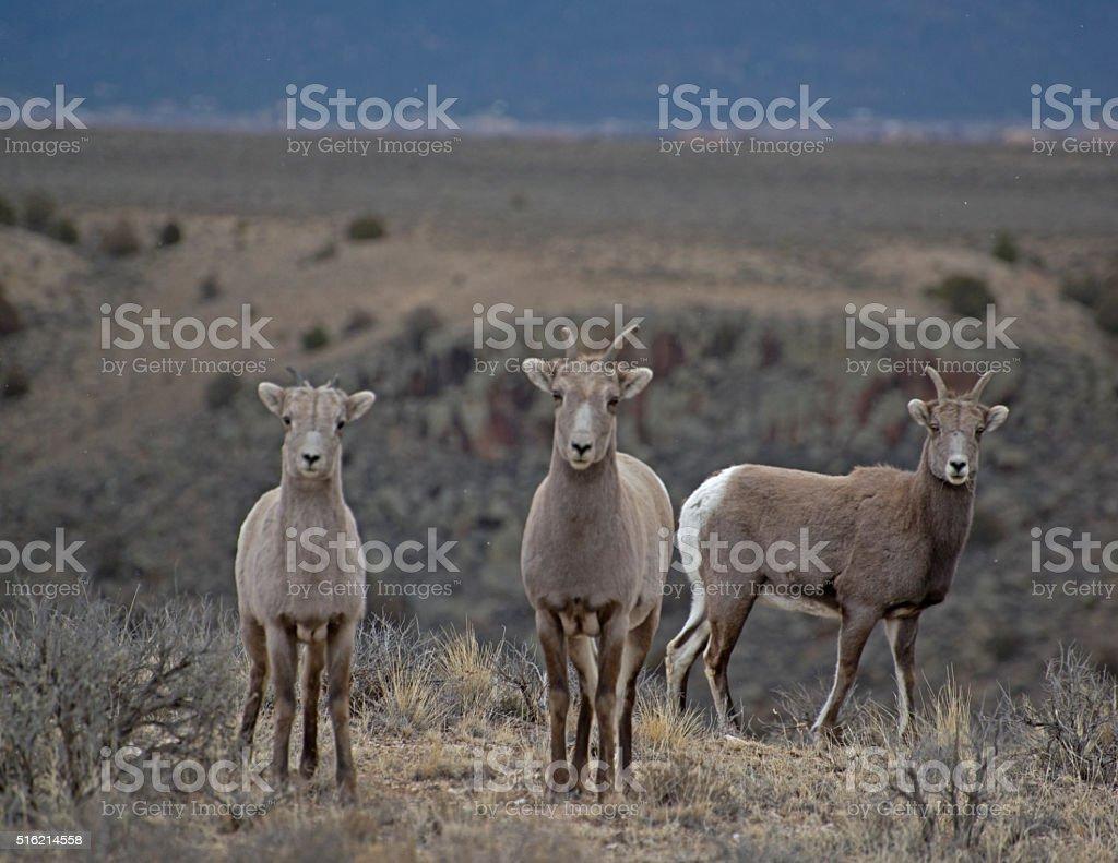 Baby Bighorns stock photo
