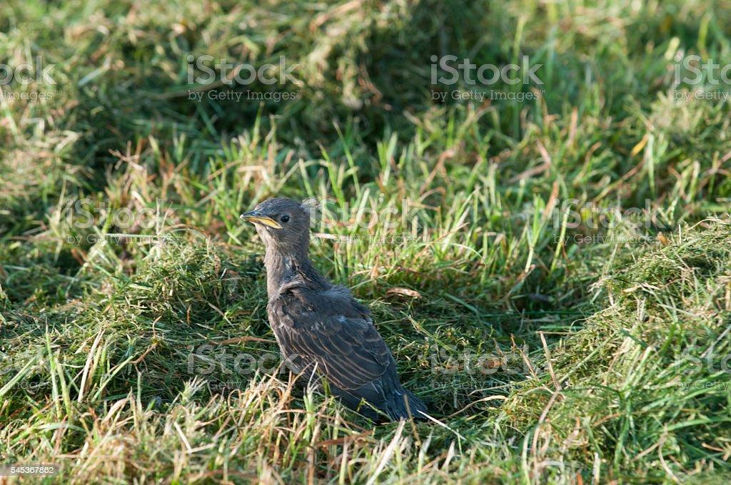 Baby bird in grass stock photo