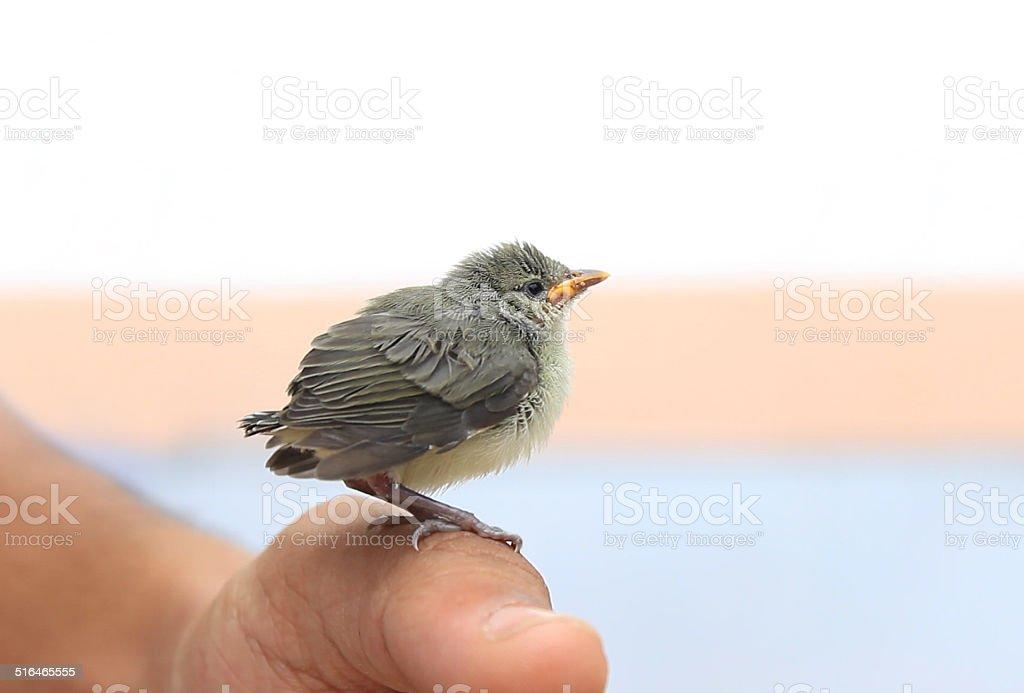 baby bird in hand stock photo