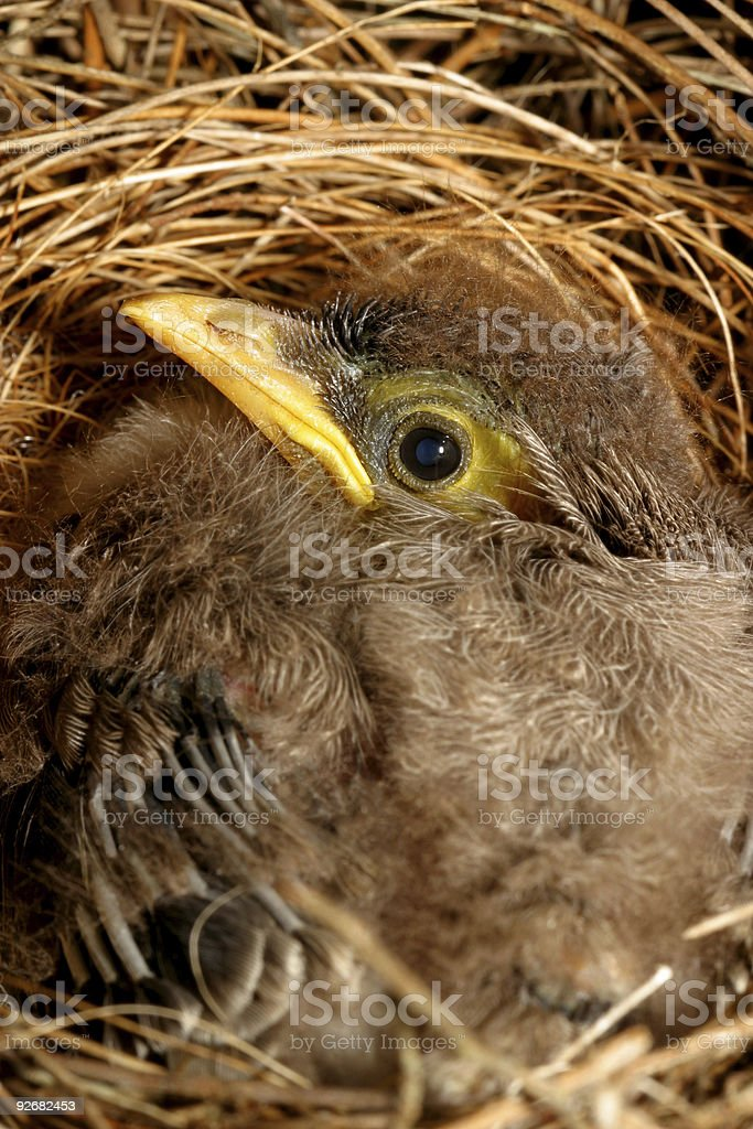 Baby Bird In Nest royalty-free stock photo