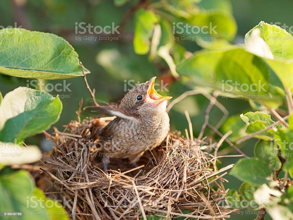 Baby bird in the nest stock photo