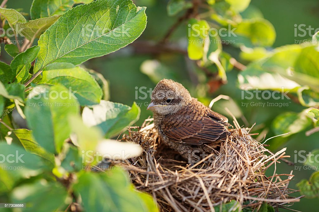 Baby bird in the nest stock photo