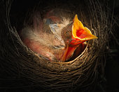 Baby bird in the nest with mouth open