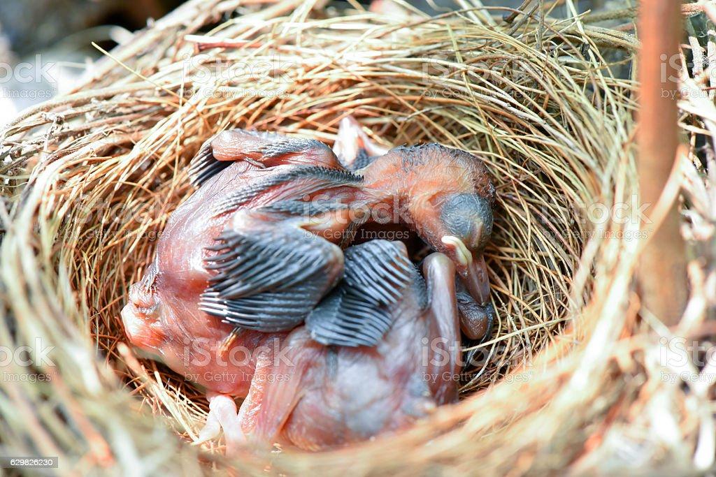 ิBaby bird stock photo