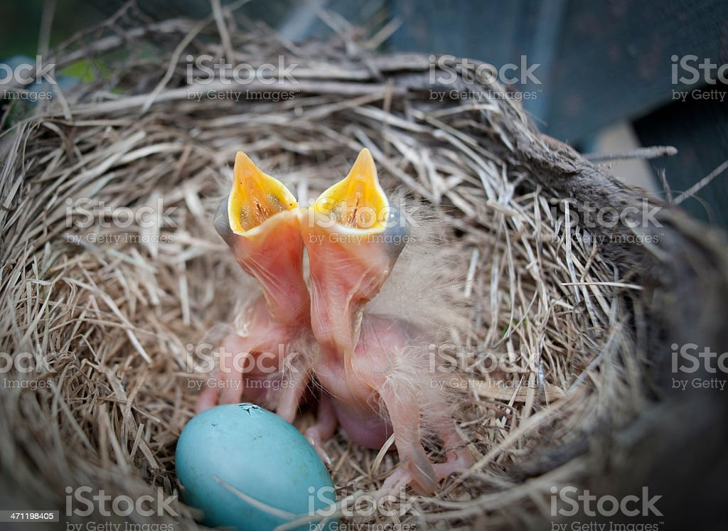 Baby Birds and Sibling Beginning to Emerge stock photo