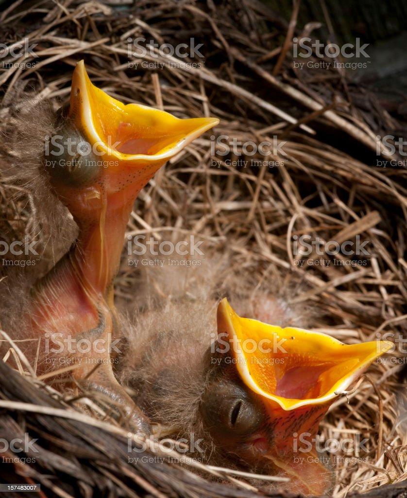 Baby Birds Await Dinner stock photo