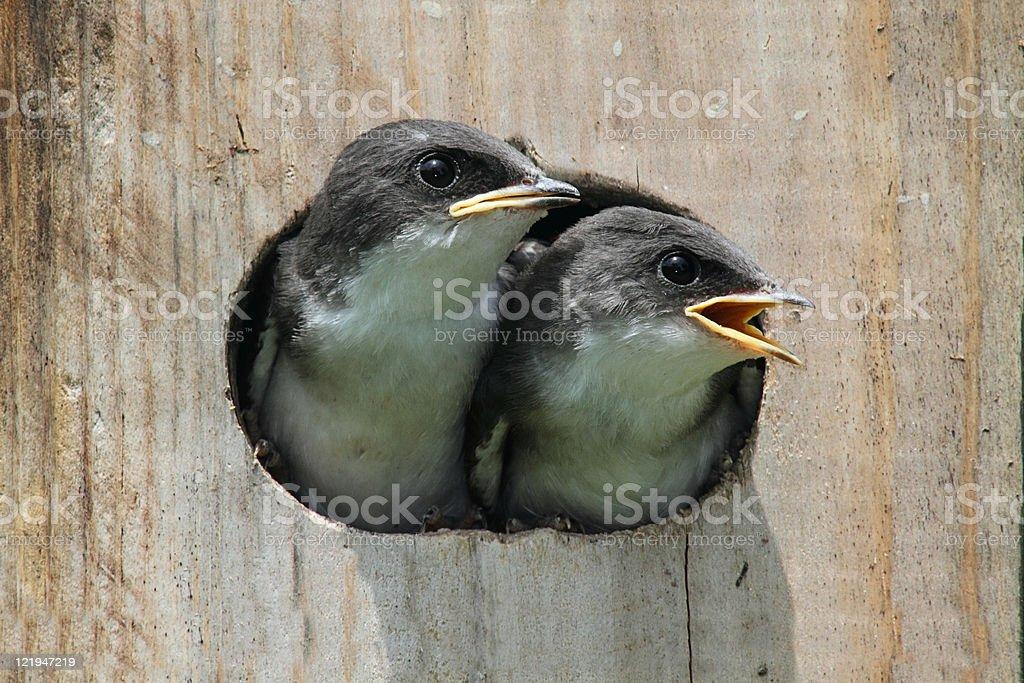 Baby Birds In a Bird House royalty-free stock photo