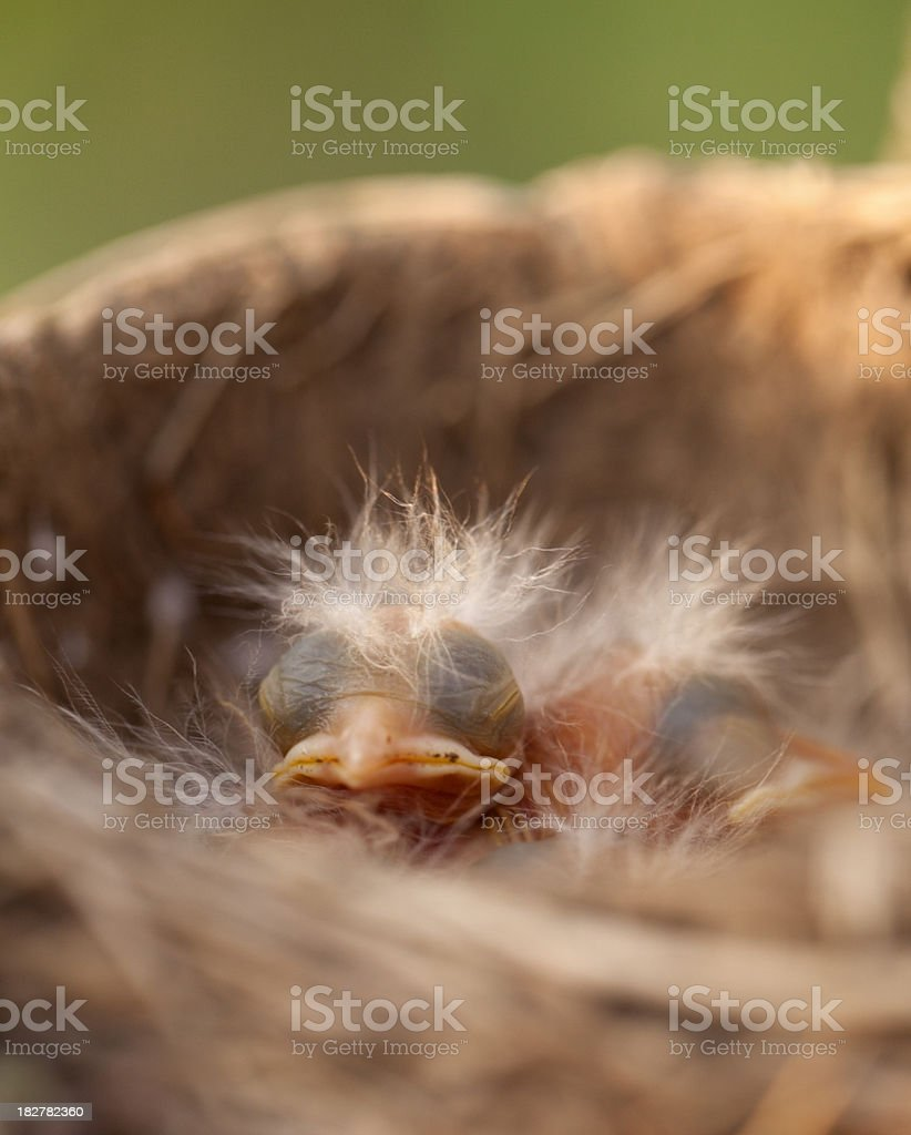 Baby Birds in a Nest Close-up royalty-free stock photo
