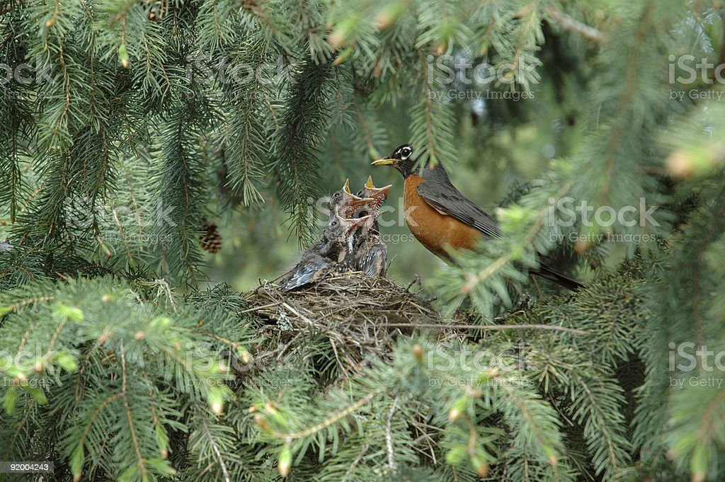 Baby birds in a nest demand food from mother stock photo