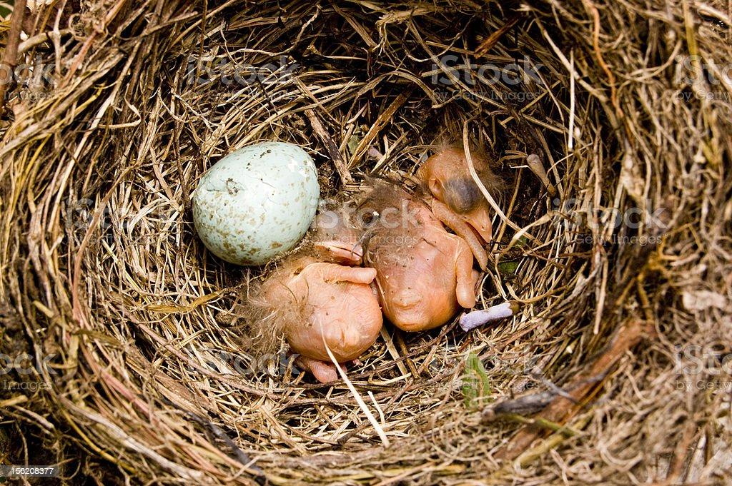 De bebé pájaros foto de stock libre de derechos