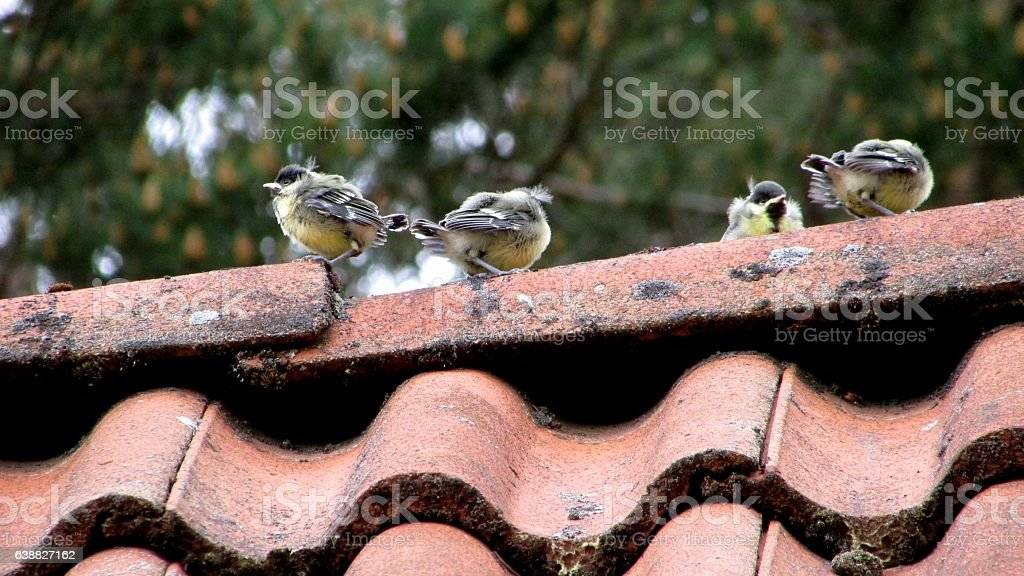 baby birds (great tits) stock photo