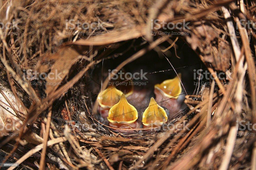 Baby Birds royalty-free stock photo