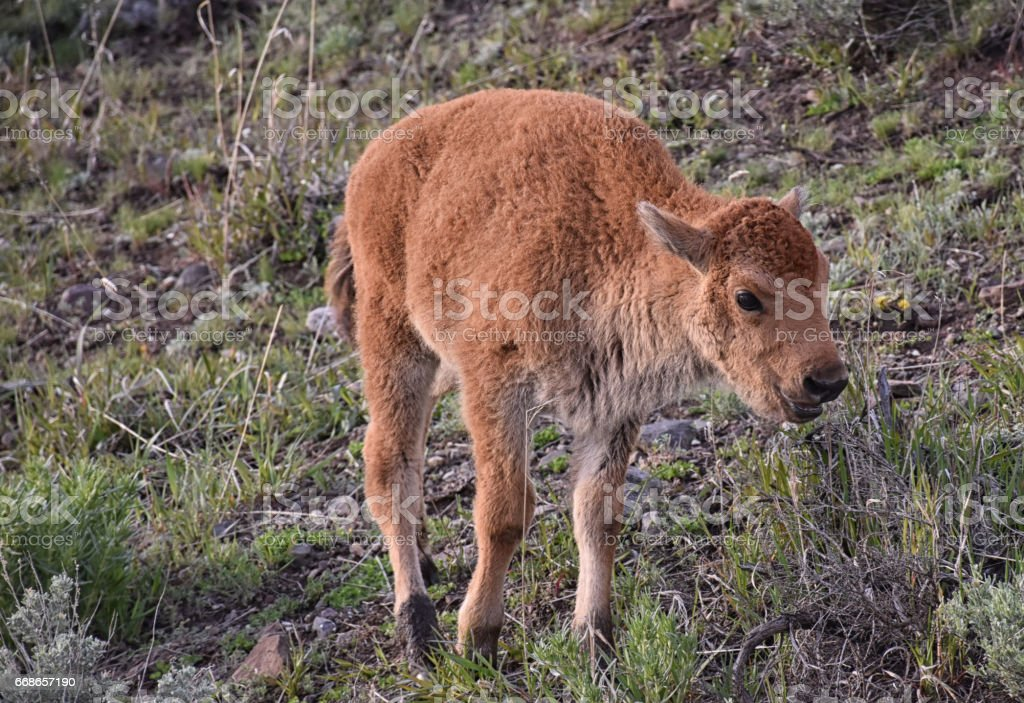 Baby Bison stock photo