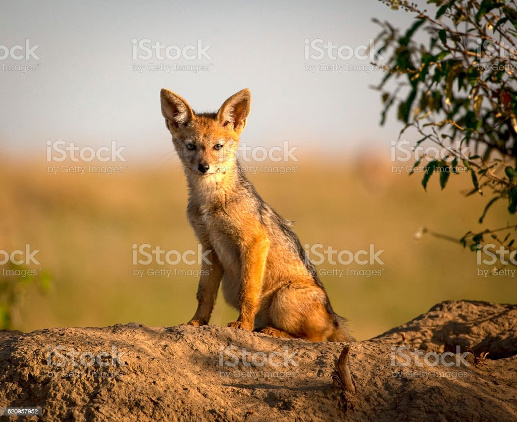 Baby black backed jackal kit sitting on den stock photo