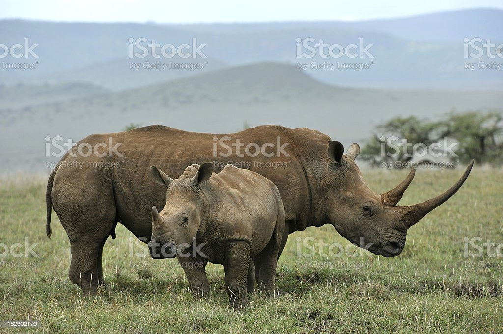 Baby Black Rhino and mother stock photo