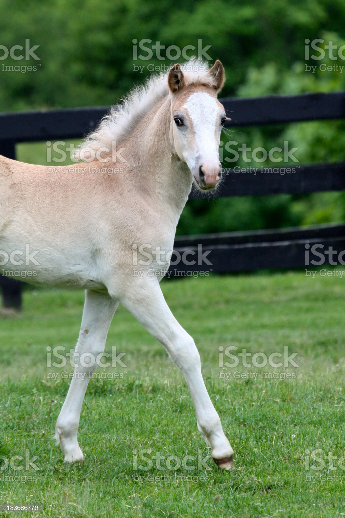 baby blond horse stepping out royalty-free stock photo