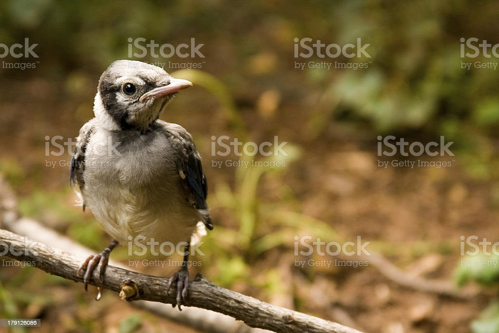 Baby Blue Jay perched on a branch stock photo