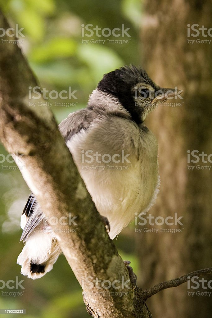 Baby blue jay perches after his first attempt at flight. stock photo