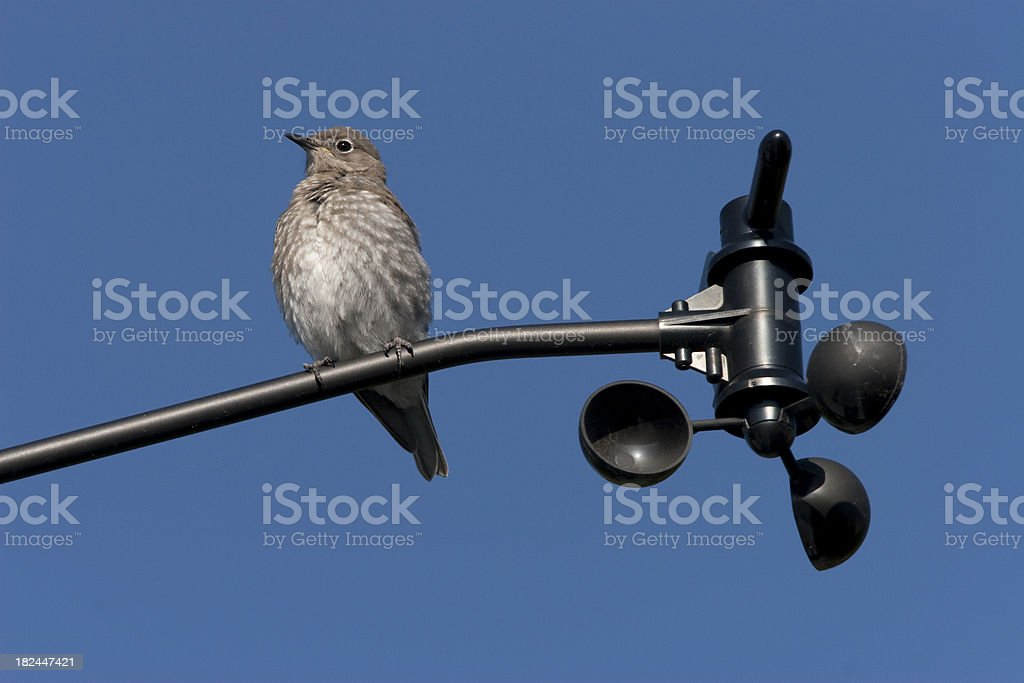 Baby bluebird perched on anemometer, Colorado stock photo