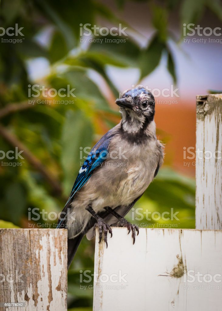 Baby Bluejay Sitting On The Fence stock photo