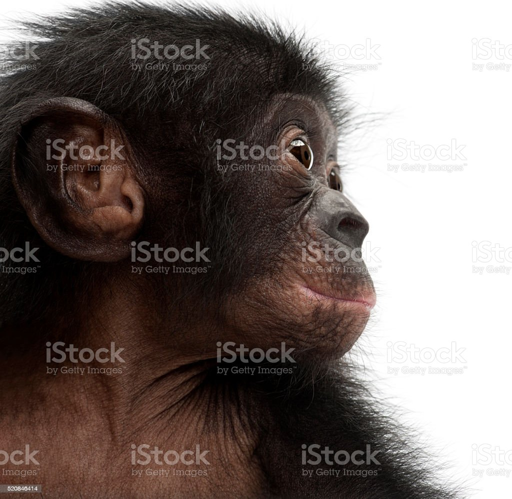Baby bonobo, Pan paniscus, 4 months old, against white background stock photo