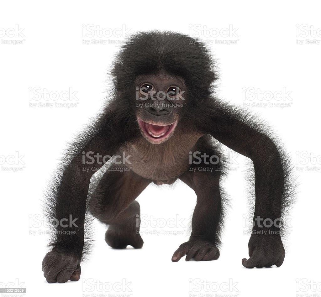 Baby bonobo, Pan paniscus, 4 months old stock photo