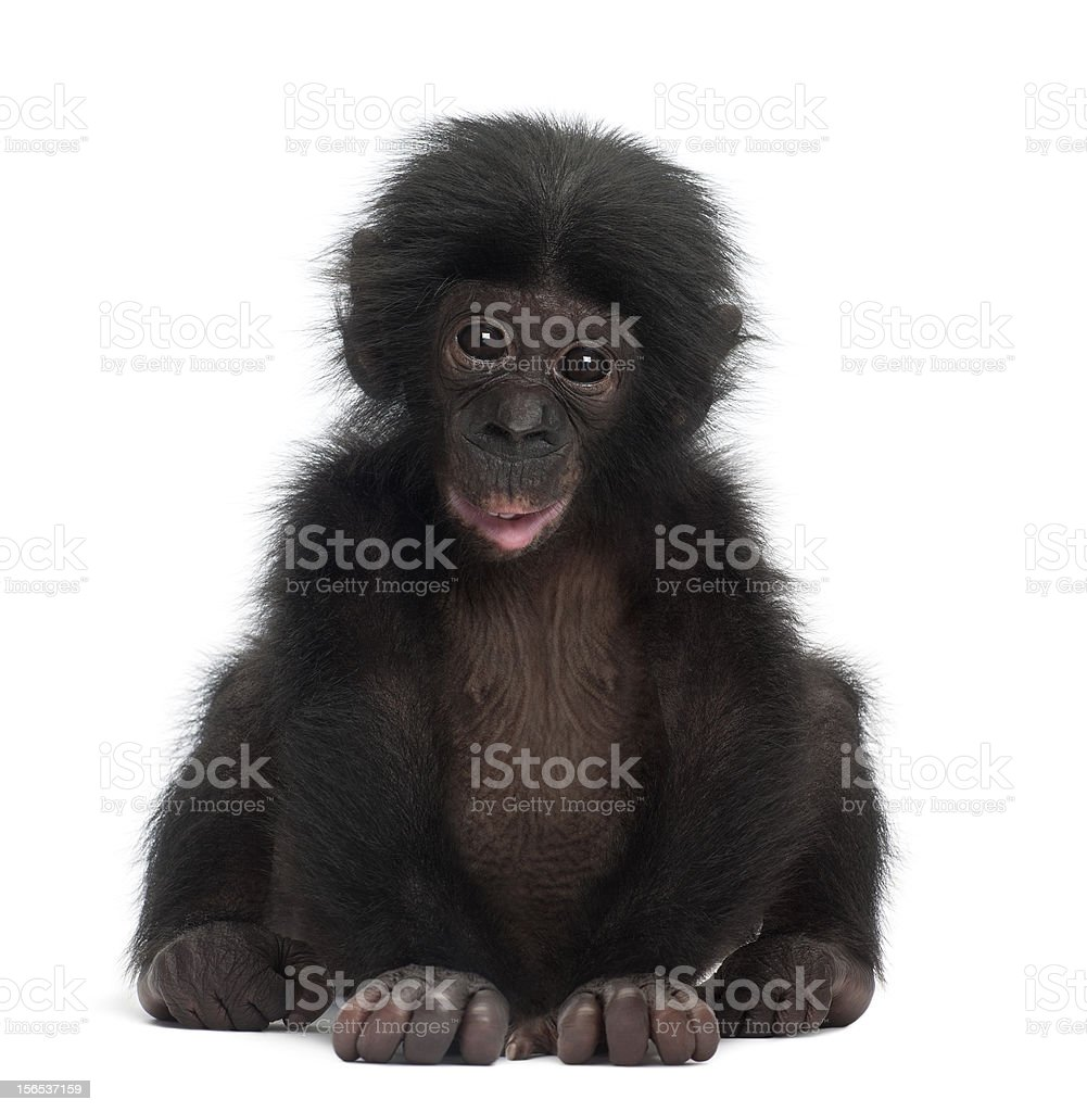 Baby bonobo, Pan paniscus, 4 months old, sitting stock photo