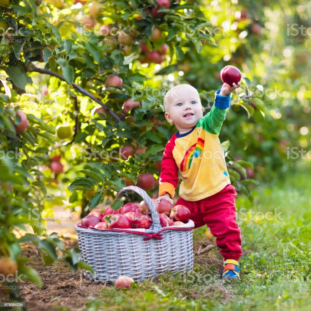 Baby boy picking apples in fruit garden stock photo