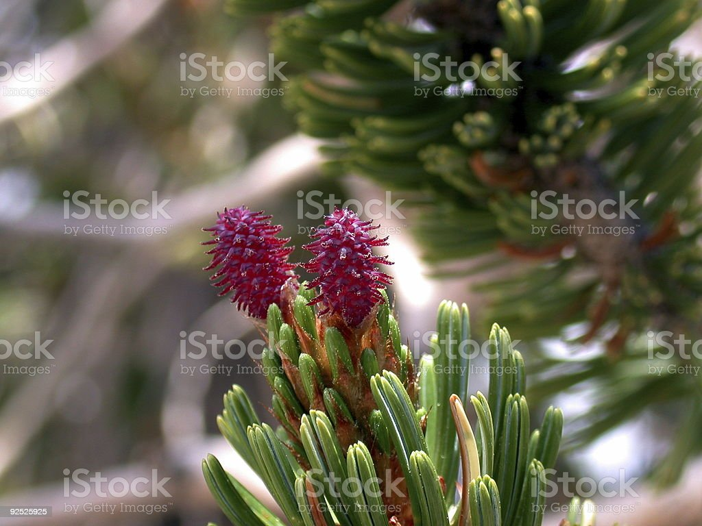 Baby Bristlecones royalty-free stock photo