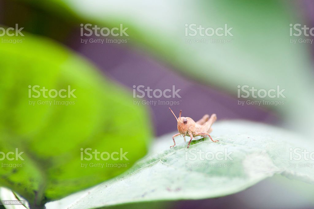 Baby brown grashopper royalty-free stock photo