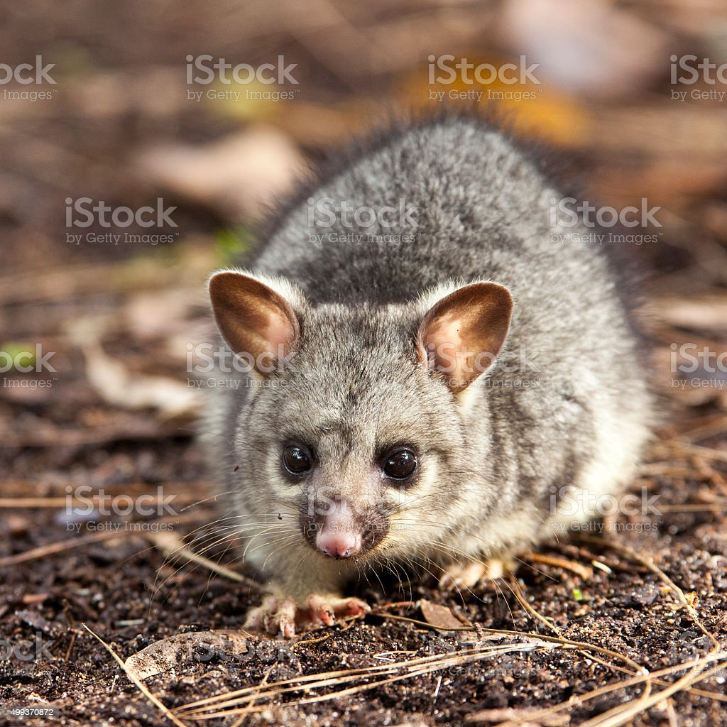 Baby Brushtail Possum stock photo