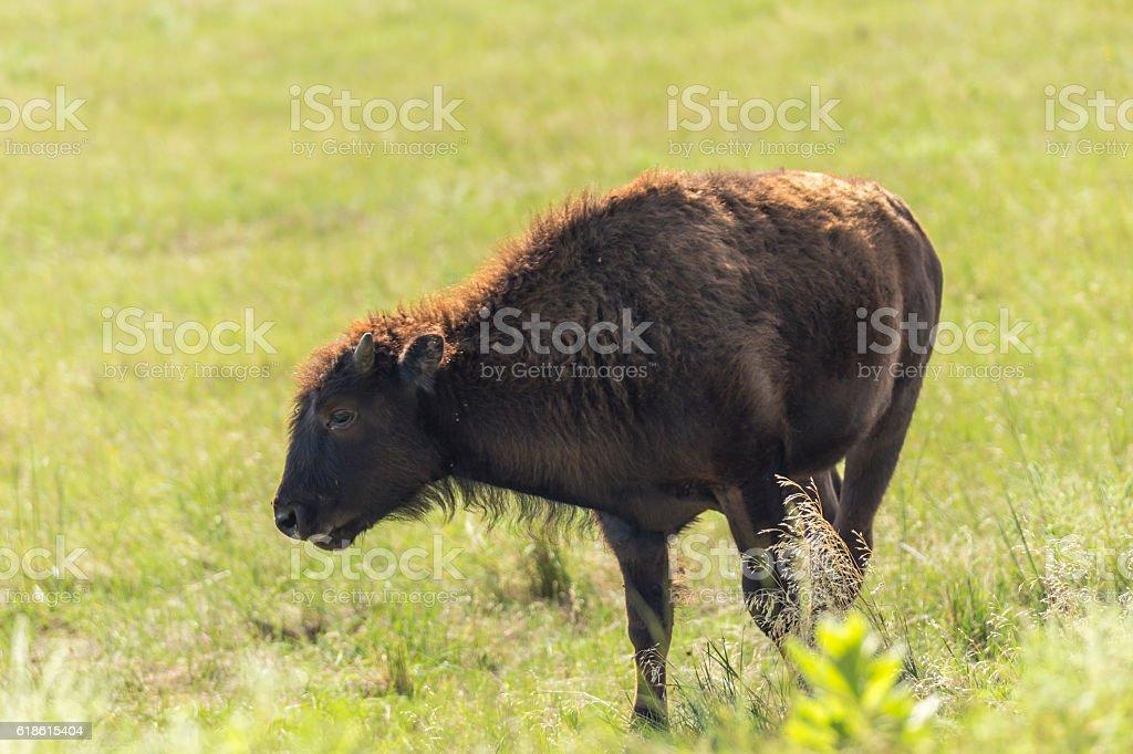 Baby Buffalo stock photo